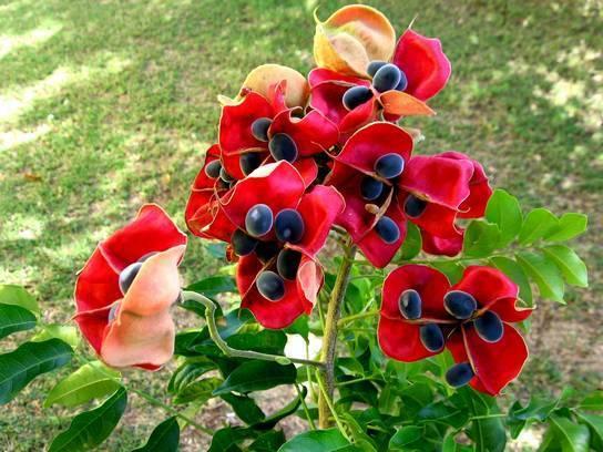 6 graines arbre aux perles de velours harpullia majidea for Plante zanzibar